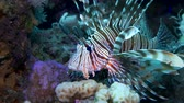 dahab : Lionfish hovering over a coral reef. Diving in the Red sea. Egypt. HD Stock Footage