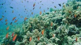 fusilier : School of tropical fish in a colorful coral reef with water surface in background, Red sea, Egypt. 4k Stock Footage