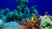 clownfish : Egypt, diving the Red sea, Anemone fish with anemone 4K