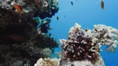 banded : School of tropical fish in a colorful coral reef with water surface in background, Red sea, Egypt. 4k Stock Footage