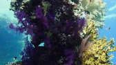 cores vibrantes : Beautiful tropical soft coral reef. Red sea Egypt 4K
