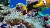 sulawesi : Nemo clown fish in the anemone on the colorful healthy coral reef. Anemonefish nemo couple swimming underwater. Red Sea Egypt 4K