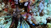 Lion fish. Diving in the Red sea near Egypt. 4K Archivo de Video