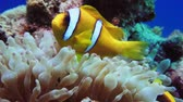 sasanka : Nemo clown fish in the anemone on the colorful healthy coral reef. Anemonefish nemo couple swimming underwater. Red Sea Egypt 4K