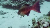 gerinctelen : Crescend-tail bigeye among the corals in the Red Sea Egypt 4K