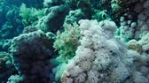 Soft coral polyps on coral reef Elfin Ston catch plankton, Red Sea, Egypt 4K 動画素材
