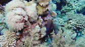 meduza : Soft coral polyps on coral reef Elfin Ston catch plankton, Red Sea, Egypt 4K Wideo
