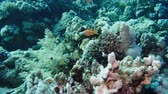 mariposas : The thicket of Tree soft coral on the slope of the reef. red sea. Egypt 4K Archivo de Video