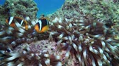 Nemo clown fish in the anemone on the colorful healthy coral reef. Anemonefish nemo couple swimming underwater. Red Sea Egypt 4K