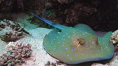 Bluespotted stingray (Taeniura lymma) on the sandy bottom of the Red Sea, Egypt 4k