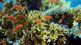 Underwater Colorful Tropical Fishes. Tropical underwater sea fishes. Underwater fish reef marine. Tropical colorful seascape. Underwater reef. Reef coral scene. Coral garden seascape. 4K
