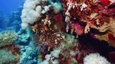 Net Fire Coral (Millepora dichotoma), Glare of sunlight on colorful corals near the water surface. Red Sea 4K