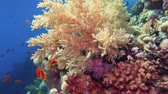 Colorful Fish on Vibrant Coral Reef, Red sea 4K