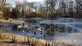 apart : Swans, ducks and drakes swim in the frozen water Stock Footage