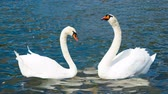 everlasting : Swans in Love
