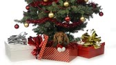 domestic : Dachshund in a gift box at the foot of a Christmas tree