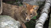 лиса : Closeup of the orange fox in the national park Dombai, Caucasus, Russia, Europe Стоковые видеозаписи