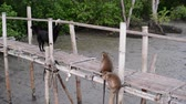 Crab-eating macaque monkeys chasing after a dog on bamboo bridge   in mangrove forest. Stock Footage