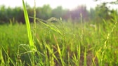 Rice paddy in field. Stock Footage