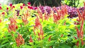 Colorful of plumed cockscomb flowers or Celosia argentea. Stock Footage