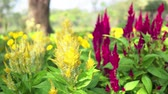urlop : Colorful of plumed cockscomb flowers or Celosia argentea. Wideo