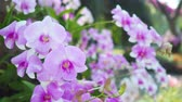 Beautiful pink orchid in garden. Stock Footage
