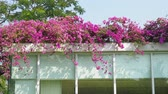 Pink flowers coverd building. Stock Footage