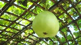 Winter melon. Stock Footage