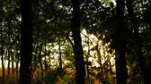 trough : Green forest trees at sunset. Sun rays pass through the branches of trees. nature background Stock Footage