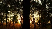 trough : forest trees at sunset. Sun rays pass through the branches of trees. nature background