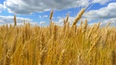 season : Gold wheat is ready for harvest. Spikelets of wheat close-up against the background of a cloudy sky. Stock Footage