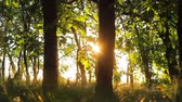 trough : Silhouette of forest trees. Forest On a background of sunset. nature background Stock Footage