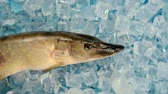 vacuity : Fish pike in the ice on the turntable. The table is spinning. Background blue under the ice. The camera is static. The fish is fresh. Stock Footage