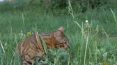 otthonos : The one cat bengal walks on the green grass. Shooting speed 60fps in 4k, slow motion. Bengal learns to walk along the street. He is slightly scared. He tries to hide in the grass.