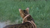 otthonos : The one cat bengal walks on the green grass. Shooting speed 60fps in 4k, slow motion. Bengal learns to walk outdoors. He is slightly scared. He tries to hide in the grass.