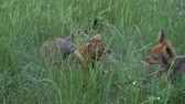tomcat : Bengal cat and dog toy terrier walks on green grass. Shooting speed 60fps in 4k, slow motion. The dog and the cat are playing with each other. Terrier cheerfully attacks Bengal, and he hides.
