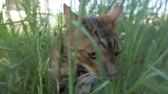 velo : The one cat bengal walks on the green grass. Shooting speed 60fps in 4k. Bengal is hiding in the high grass. The camera moves through the thicket directly to it. Live shooting with stabilizer.