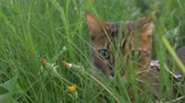 tomcat : The one cat bengal walks on the green grass. Shooting speed 60fps in 4k. Bengal is hiding in the high grass. The camera moves through the thicket directly to it. Live shooting with stabilizer.
