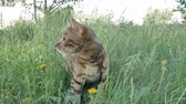 otthonos : The one cat bengal walks on the green grass. Shooting speed 60fps in 4k, slow motion. Bengal is hiding in the high grass in the open air. Live shooting with hands with a stabilizer. Stock mozgókép