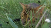 otthonos : The one cat bengal walks on the green grass. Shooting speed 60fps in 4k. Bengal is hiding in the high grass. The camera moves through the thicket directly to it. Live shooting with stabilizer.