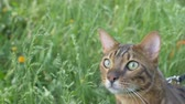 tomcat : The one cat bengal walks on the green grass. Shooting speed 60fps in 4k, slow motion. Bengal is hiding in the high grass in the open air. Live shooting with hands with a stabilizer. Stock Footage