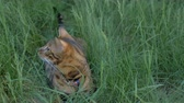 velo : The one cat bengal walks on the green grass. Shooting speed 60fps in 4k, slow motion. The cat looks around, looking for a better place. Worried and afraid of everything on the street. Vídeos
