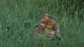 tomcat : The one cat bengal walks on the green grass. Shooting speed 60fps in 4k, slow motion. Bengal learns to walk along the street. He is slightly scared. He tries to hide in the grass.