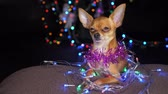 yellow dog year : The Toy Terrier is a yellow New Years dog. Funny dog lies on a pillow and looks around. Tinsel on her neck, around the garlands. Background of a fur-tree with shone by lights. Stock Footage