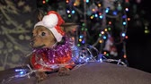yellow dog year : The Toy Terrier is a yellow New Years dog. A funny dog in a Christmas cap lies and looks around. He falls asleep and wakes up. A background of a fur-tree with shone by lights.