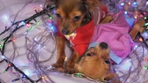 yellow dog year : The Toy Terrier is a yellow New Years dog. Two dogs lie ridiculously and fall asleep. They are surrounded by garlands and are dressed in childrens sliders.