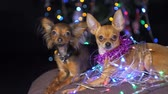 yellow dog year : Two Toy Terrier is a yellow New Years dog. Funny dogs lies on a pillow and looks around. Tinsel on her neck, around the garlands. Background of a fur-tree with shone by lights.