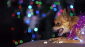 yellow dog year : The Toy Terrier is a yellow New Years dog. A funny dog eats a tasty bone with meat. Tinsel on her neck, around the garlands. A background of a fur-tree with shone by lights. Stock Footage