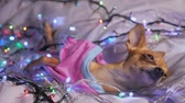 yellow dog year : The Toy Terrier is a yellow New Years dog. The dog lies ridiculously, looks and falls asleep. She is surrounded by garlands and dressed in baby sliders.