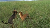urvat : Super slow motion shot of two small dogs Toy Terrier roughhousing on grass, funny battle of young beagle and white terrier. Doggy wrestling.